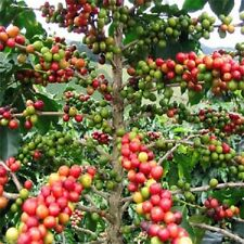Coffee Plant Seeds/Coffea Arabica Nana/Perennial 5