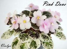 Pink Dove 2 Blätter/ 2 leaves African Violet Usambaraveilchen