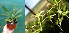 Angraecum calceolus, orchidée, Orchid,
