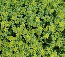 Common Stonecrop Perennial Groundcover Seeds Cold Drought & Salt Tolerant