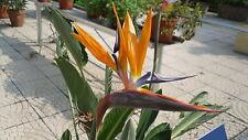5 Semillas de Ave del Paraiso (Strelizia Reginae) seeds