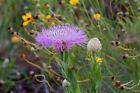 American basket flower (Centaurea americana)—100 seeds ($3.00)