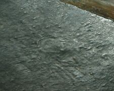 SEA ANEMONE LIKE  Ediacarian fossil -Hiemalora !  RARE Uncommon locality!