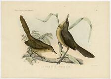 Antique Print-MADAGASCAN SWAMP WARBLER-MADAGASCAR BRUSH-Schlegel-Trap-1869