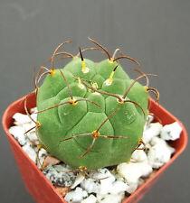 """Matucana madisoniorum exotic rare cacti red flower succulent cactus plant 2"""" pot"""