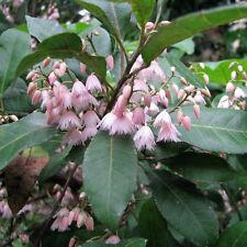 ELAEOCARPUS reticulatus Blueberry Ash Seeds (N 33)