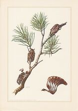 Walker turcos escucha polyphylla Fullo impresión en color de 1959 Coleoptera