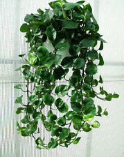 PHILODENDRON CORDATUM Heart Leaf Ivy Plant - Popular House Plant - Easy to Grow