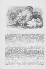 Snowy owl Bubo scandiacus Schnee-Eule Holzstich von 1863 Northern hawk-owl Eulen