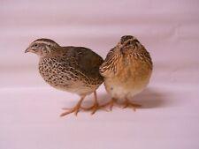 40 + extras  jumbo brown Coturnix Quail Hatching Eggs plus extras