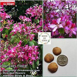 5 PURPLE ORCHID TREE SEEDS (Bauhinia variegata purpurea); Easy to grow