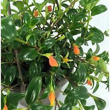 """Goldfish Plant Live 6"""" Hanging Basket Flowers - Blooms Frequently Bst Gift New"""