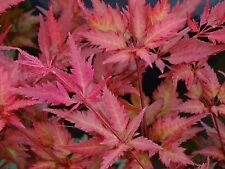 Japanese Acer Hagoromo Bird Feather Like Leaves Bushy  Sold In 3or4 Lt Pots