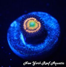 New listing New York Reef Aquatic - 0523 D6 Citrus Cooler Zoanthid Wysiwyg Live Coral