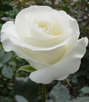 US-Seller Beautiful White Rose Seeds 50Pcs Seeds