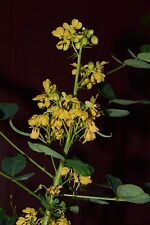 Wild Senna Cassia hebecarpa Yellow flowers 60 seeds to plant now  Perennial