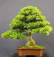 10 Quercus ilex BONSAI semi seeds korn prebonsai albero