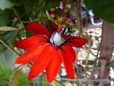 2 x Passiflora - rote Passionsblume -  Winterharte Pflanze  - Früchte