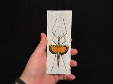 Entomologie Superbe Phasme Pseudodiacantha macklottii femelle A1d'Indonesie!