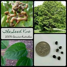 20+ JAPANESE RAISIN TREE SEEDS (Hovenia dulcis) Fruit Ornamental Edible Garden