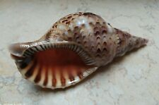 Charonia Tritonis Trumpet Shell 7.8 Inch Length Very Rare Specimen Nature shell