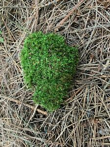 Moss, Live Soft Mossy Clump, Apprx. 6 x 4 x 2 inches