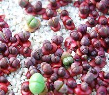 "Pleiospilos Nelii ""ROYAL FLUSH"" mesembs rock living stones cactus seed 20 SEEDS"
