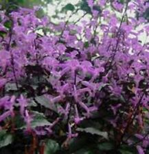 PURPLE CAPE ANGELS Plectranthus long-flowering plant in 140mm pot