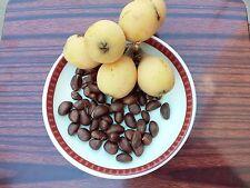 30 Loquat Fruit Tree Seeds Japanese Plum, Grown in California USA