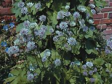 Flower - Astrantia major primadonna - 20 Seeds