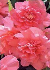 Flower - Begonia - Illumination Salmon Pink F1 - 10 Pelleted Seeds