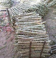 """Sweet Cassava trunk Cuttings, Fresh Manihot esculenta tree 2 Cuttings x 12"""""""