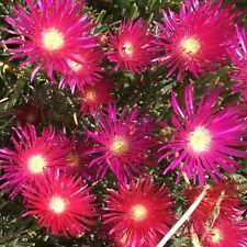 4x Dark Pink Mesembryanthemum Succulent Plant Cuttings (Pigface/Pig Face)
