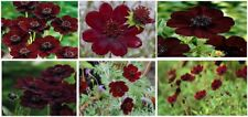 Chocolate Cosmos  Tender Perennial Very Pretty 25 Seeds