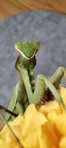 Praying Mantis Live Food