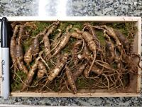 American Fresh Wild Ginseng Root PANAX Gift Pack ( 30~40 years old 23 pcs )