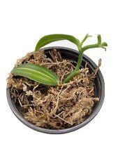 Vanilla Planifolia Variegata Orchid 3�long (rooted plant)