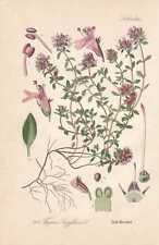 Thymus serpyllum-Sand-Timo Thome queIIa di 1886