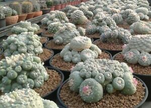 Cactus.Button (LW) Seed Germination Guide, Tips & More!