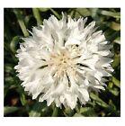 80 graines de BLEUET BLANC (Centaurea Cyanus)X259 WHITE CORNFLOWER SEEDS SAMEN