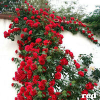 100PCS Red Climbing Rose Seeds Rosa Multiflora Perennial Fragrant Flower Decor