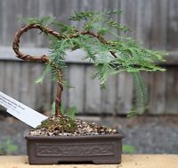 Bonsai Samen i! URWELT-MAMMUT-BAUM !i Zimmerpflanze Wintergarten Exot Sämereien