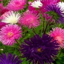 Aster -Callistephus Tall Needle Unicom Mix- 50 Seeds- Bogo 50% off Sale