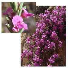 Indigofera Pappei - VERY Rare Tropical Plant Shrub Seeds (10)