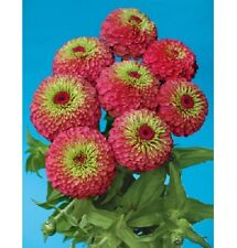 NEW!  25+ GIANT QUEEN RED LIME GREEN  ZINNIA FLOWER SEEDS / ANNUAL