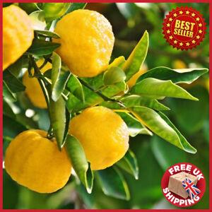 Japanese Tree 2ft Yuzu Lime Citrus Fruit in Pot Garden Outdoor Meringue Pie