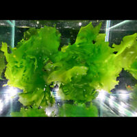 Sea Lettuce - Ulva lactuca - macroalgae algae - 1 cup ebay