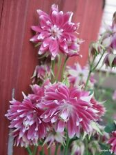 Columbine Seeds Aquilegia Barlow Christa Columbine 50 Seeds