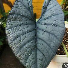 alocasia Brown reginae a rare ornamental 1 plant