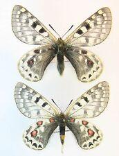 Parnassius acco mirabilis pair (AA-) (Papilionidae)